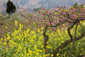 Pink Peach Yellow Canola Blossoms Sichuan China — Stock Photo