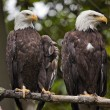 Stock Photo: White Head Bald Eagles in Tree Washington