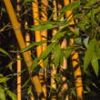 Stock Photo: Bamboo with Green Leaves