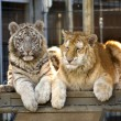Rare Bengal Tiger Cubs — Stock Photo