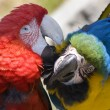 Grooming Green Wing Macaw Blue Gold Macaw - Stock Photo