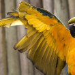 Blue Gold Macaw Stretching Yellow Wing — Stock Photo #6077666