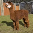 Royalty-Free Stock Photo: Brown White Calico Alpaca Llama