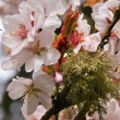 Pink Cherry Blossoms Flowers Green Moss Spring in Washington — Stock Photo #6077734
