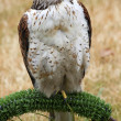 Ferruginous Hawk Brown Feathers — Stock Photo