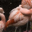 Постер, плакат: Pink Chilean Flamings and Feathers