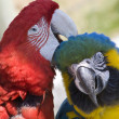 Grooming Green Wing Macaw Blue Gold Macaw — Stock Photo #6077936