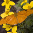 Постер, плакат: Bright Orange Julia Butterfly on Yellow Flowers