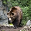Kodiak Brown Bear Walking on Trail - Stock Photo