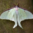 Luna Moth Close Up - Stok fotoğraf