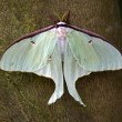 Luna Moth Close Up - Stock Photo