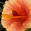 Orange Hibiscus Close Up — Stock Photo