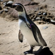Stock Photo: Chinstrap Penguin