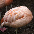 Постер, плакат: Pink Chilean Flamingo Feathers Ball