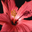 Pink Hibiscus Close Up Macro - Stock Photo
