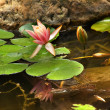 Royalty-Free Stock Photo: Pink Water Lily with Reflection