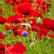 Red Poppies Flowers Blue Clover in Field Snoqualme Washington — Stock Photo