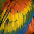 Scarlet Macaw Feathers Close Up — Stock Photo