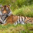 Large Striped Sumatran Tiger Relaxing in Grass - Stock Photo
