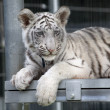 Royal White Bengal Tiger Cub — Stock Photo