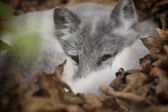 Artic Fox Peeking Out at Visitors — Stockfoto