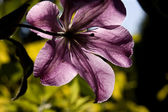 Back Lit Purple Clematis — Stock Photo
