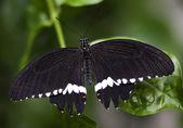 黒白い共通アゲハチョウ — ストック写真