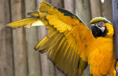 Blue Gold Macaw Stretching Yellow Wing — Stock Photo