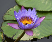 Blue Yellow Water Lily and Pads — Stock Photo
