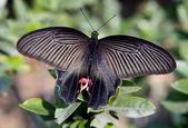 Китайская красная и Черная бабочка макрос — Стоковое фото