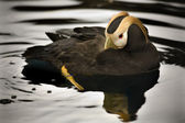 Tufted Puffin Swimming Alaska — Стоковое фото