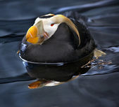 Tufted Puffin Swimming and Resting Alaska — Stock Photo