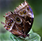 Common Blue Morpho Butterfly on Green Leaf — Stock Photo