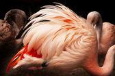 Rosa piume di fenicottero cilene — Foto Stock