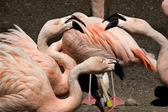 Here's Talking About It Pink Chilean Flamingos Gossiping — Stock Photo