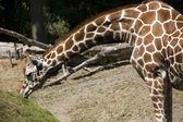 Żyrafy jedzenia trawy — Zdjęcie stockowe