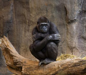 Gorilla Ape Looking at crowd — Zdjęcie stockowe