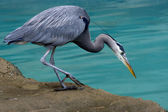 Great Blue Heron Looking for Fish — Stock Photo