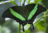 Green Banded Peacock Butterfly Papilio Palinuris — Stock Photo