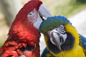 Grooming Green Wing Macaw Blue Gold Macaw — Stock Photo