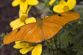 Bright Orange Julia Moth on Yellow Flowers — Stock Photo