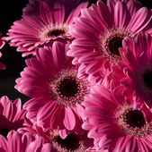 Bright Pink Gerbera Flowers — Stock Photo