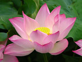 Pink Lotus Close Up — Stock Photo