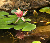 Pink Water Lily with Reflection — Stock Photo