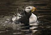 Horned Puffin Spashing with Reflections Alaska — Stock Photo