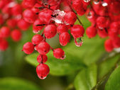 Water Drop Off Red Berries — 图库照片