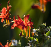 Red Cardinal Flower Back Lit — Stock Photo