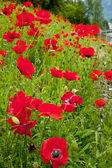 Red Poppies Flowers in Field Snoqualme Washington — Stock Photo