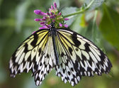 Black and White Rice Paper or Paper Kite Butterfly, Idea Leucono — Stock Photo