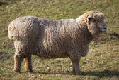 Owce stojącej — Zdjęcie stockowe